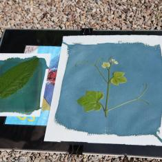 Cyanotypes in the making. Trengwainton Garden