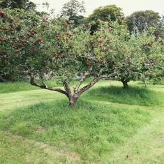 Old Orchard, Trengwainton