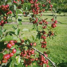 Crab apples in the new orchard