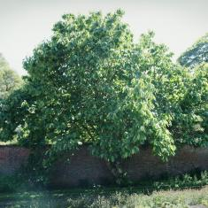 Magnolia mollicomata, Trengwainton.