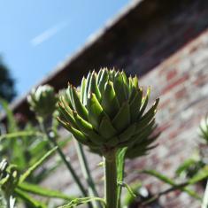 Artichoke, Trengwainton Walled Garden.