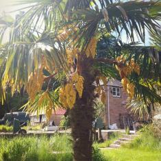 Palm tree, Trachycarpus, Trengwainton.