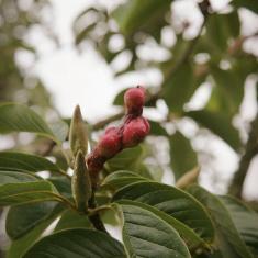 Magnolia seedpod, Trengwainton.