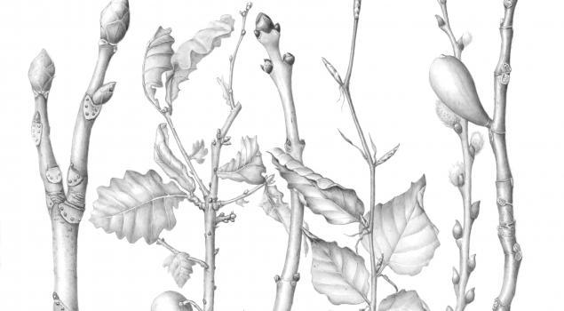 Mally Francis botanical drawing