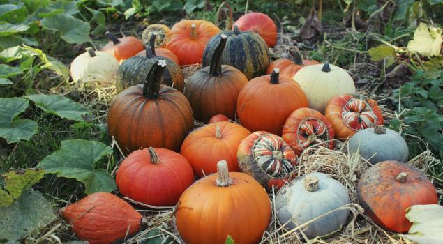 Pumpkins at Trengwainton 2015
