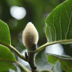 Magnolia 'campbellii'. Photo © Barbara Santi
