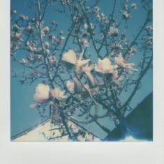 Magnolia, Trengwainton Garden, near the gardener's cottage