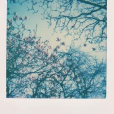 Magnolia campbellii var. mollicomata, Trengwainton walled kitchen garden. Photo © Barbara Santi