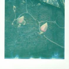 Bud of a Magnolia campbellii var. mollicomata, Trengwainton walled kitchen garden. Photo © Barbara Santi