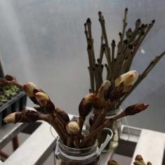 Horse chestnut and ash, Trengwainton botanical illustration Spring course