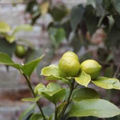 Lemons in walled vegetable garden, Trengwainton Garden