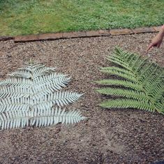 Two ferns, Trengwainton. Photo © Barbara Santi.