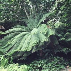 Tree Fern, Dicksonia antartica, Trengwainton.