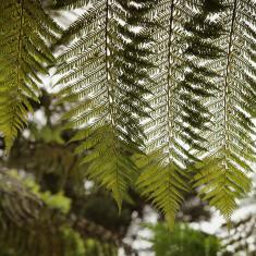 Tree Fern, Tengwainton.